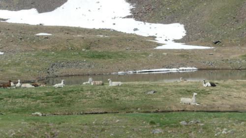 Lama en pature